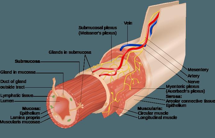 αιμορροΐδες - αιμοροιδες ανατομία του εντέρου